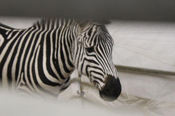 arlette-gruss-zebre